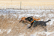 Golden Retriever Kaya fetches a rooster with an assist from Black Lab Henry during a late season hunt near Mitchell, South Dakota