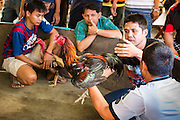 11 JANUARY 2014 - BANGKOK, THAILAND:   Fight officials inspect fighting cocks before a bout in Bangkok. Cockfighting dates back over 3,000 years and is still popular in many countries throughout the world today, including Thailand. Cockfighting is legal in Thailand. Unlike some countries, Thai cockfighting does not use artificial spurs to increase injury and does not employ the 'fight to the death rule'. Thai birds live to fight another day and are retired after two years of competing. Cockfighting is enjoyed by over 200,000 people in Thailand each weekend at over 75 licensed venues. Fighting cocks live for about 10 years and only fight for 2nd and 3rd years of their lives. Most have only four fights per year. Most times the winner is based on which rooster stops fighting or tires first rather than which is the most severely injured. Although gambling is illegal in Thailand, many times fight promoters are able to get an exemption to the gambling laws and a lot of money is wagered on the fights.       PHOTO BY JACK KURTZ