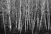 Aspen trees, Whiteshell Provincial Park, Manitoba, Canada