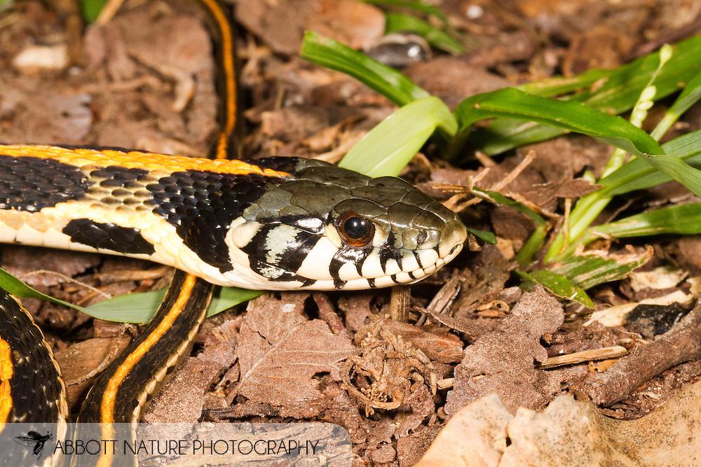 Blackneck Garter Snake (Thamnophis cyrtopsis)<br /> TEXAS: Travis Co.<br /> Brackenridge Field Laboratory; Austin<br /> 26-May-2010<br /> J.C. Abbott