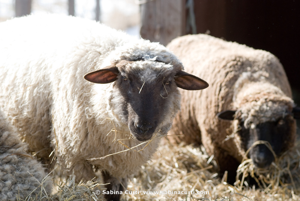 Early Spring, sheep, ewe, sustainable family farm, Hillsdale, NY