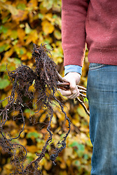 Holding bare rooted raspberry canes ready to plant