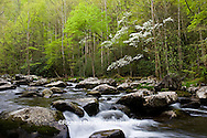 66745-04202 Dogwood trees in spring along Middle Prong Little River, Tremont Area, Great Smoky Mountains National Park, TN