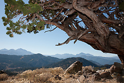"""Juniper Tree 4"" - This very old juniper tree was photographed along Monitor Pass, California."