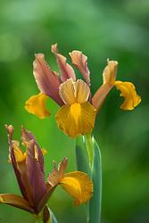 Iris 'Lion King'. Dutch iris