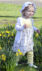 © under license to London News Pictures. .2011.03.07    18 month old  Eva enjoys the spring daffodils in the sunshine today (Mon) in Orpington, South London. Picture credit should read Grant Falvey/London News Pictures.