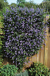 Ceanothus pruned to grow upright on fence