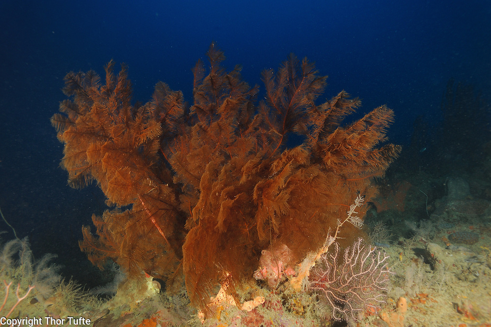 Golden Brown Feather Black Coral on a reef on the south coast of The Dominican Republic.