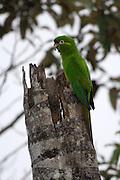 Cerro Tapichalaca Reserve - Monday, Jan 07 2008: A Golden-plumed Parakeet (Leptosittaca branickii) perches on a tree in the Cerro Tapichalaca Reserve near Podocarpus National Park. (Photo by Peter Horrell / http://www.peterhorrell.com)