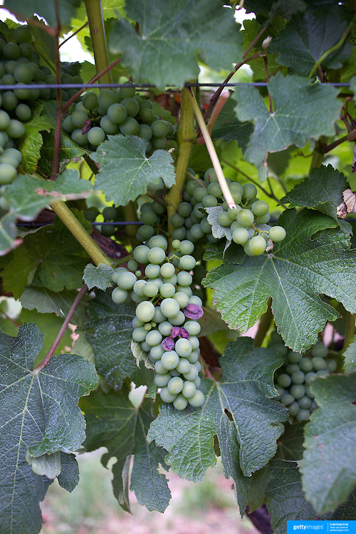 Grapes on the vine at Cloudy Bay Vineyard, Jackson Road., Marlborough, New Zealand..The winery and vineyards are situated in the Wairau Valley in Marlborough at the northern end of New Zealand's South Island. This unique and cool wine region enjoys a maritime climate with the longest hours of sunshine of any place in New Zealand. Wairau Valley, Marlborough, New Zealand. 9th February 2011. Photo Tim Clayton