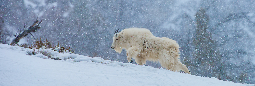 Mountain Goat crossing a ridge during a Winter snow storm in the Snake River Canyon.