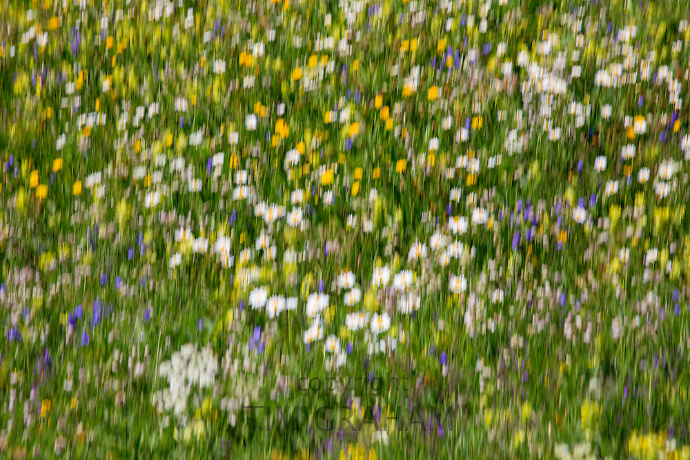 Blur effect Alpine wildflower meadow in the Swiss Alps below the Matterhorn near Zermatt, Switzerland