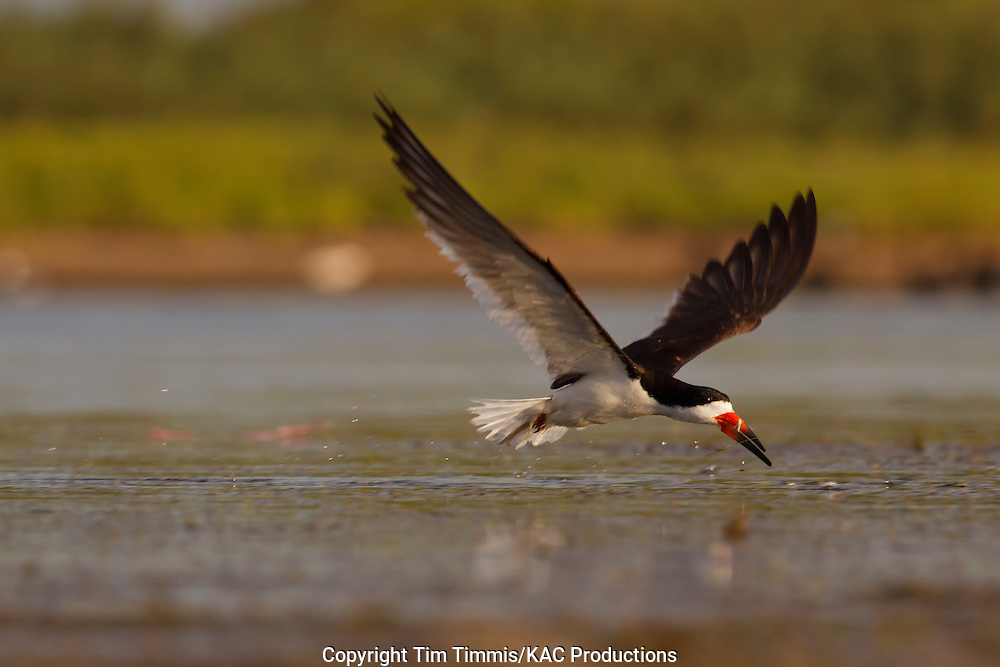 Black Skimmer, Rynchops niger, Bryan Beach, Texas gulf coast, flying over water, fish in beak
