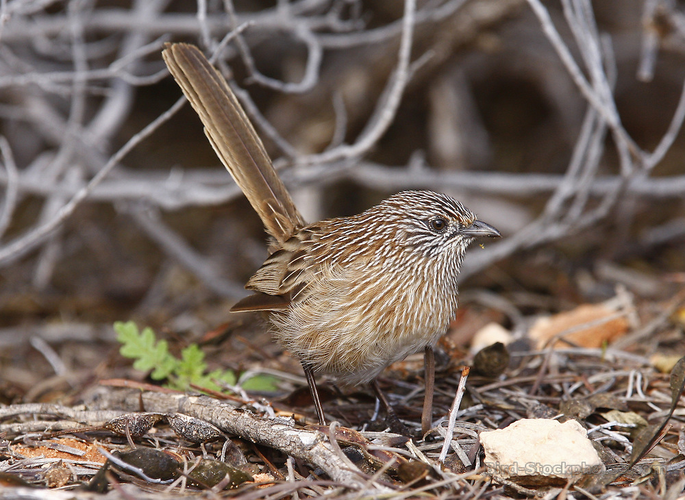 Thick-billed Grasswren, Amytornis modestus, Australia, by Jonathan Rossouw