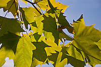 Chateau de Sauvage, France. Sun shining on a branch of yellow/green leaves.