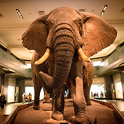 Elephants on display in the large mammals hall at the Museum of Natural History in New York's Upper West Side neighborhood, adjacent to Central Park.
