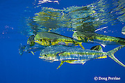 dorado, mahi-mahi, mahimahi, mahi mahi, or dolphin fish, Coryphaena hippurus, in open ocean, off Kaiwi Point, Kona, Hawaii Island ( the Big Island ), U.S.A. ( Central Pacific Ocean )