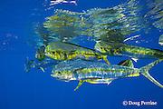 dorado, mahi-mahi, mahimahi, mahi mahi, or dolphin fish, Coryphaena hippurus, in open ocean, off Kaiwi Point, Kona, Hawaii Island ( the Big Island ), U.S.A. ( Central Pacific Ocean )