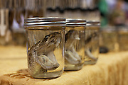Jars of rattlesnake heads line a vendor's table at the 55th Annual Sweetwater Rattlesnake Round-Up in Sweetwater, Texas on Friday, March 8, 2013.