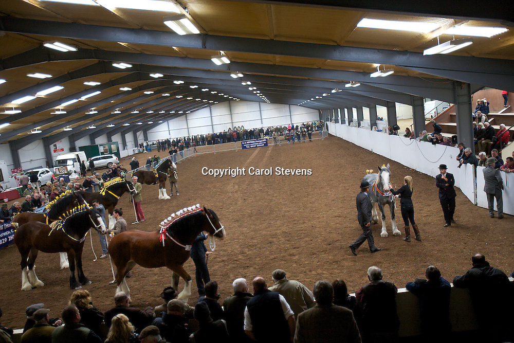 North West and Wales Shire Foal Society Show 2012<br /> Yearling Colt, Gelding or Filly Class