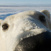 Close-up of a polar bear (Ursus maritimus). Hudson Bay, Manitoba, Canada