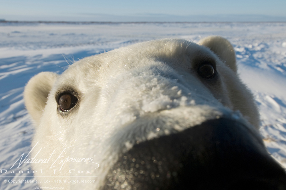 Close-up of a polar bear (Ursus maritimus). Hudson Bay, Manitoba, Canada