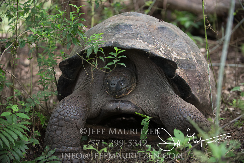 A Galapagos Giant rests in the highlands of Santa Cruz island.
