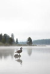 """Canadian Goose at Prosser Reservoir"" - This Canadian Goose was photographed on a foggy morning at Prosser Reservoir, near Truckee, CA."