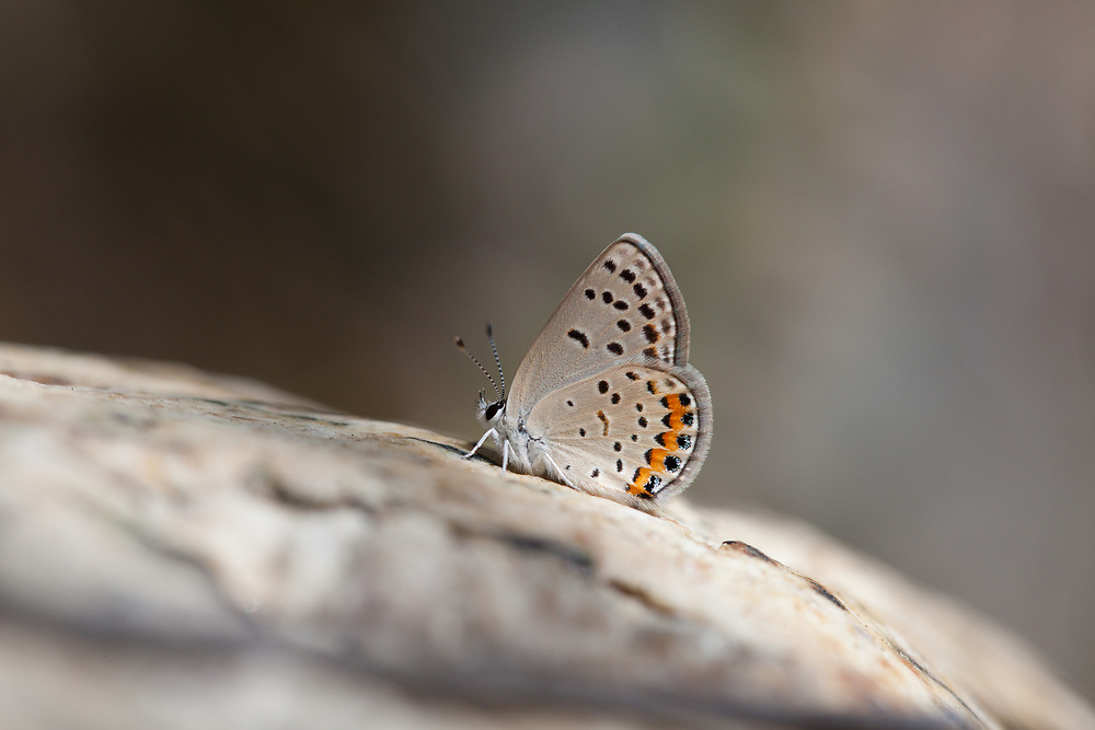 Plebejus acmon (Acmon Blue ) ♀ at Upper Big Tujunga Canyon, Angeles NF, Los Angeles Co, CA, USA, on 10-Jul-15