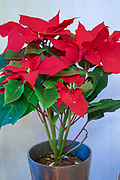 Red leafs of Christmas Star, Poinsettia (Euphorbia pulcherrima) in a pot