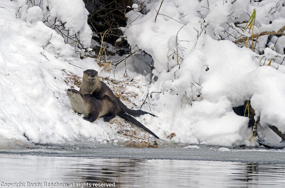 A pari of river otters mating in late fall along the Yaak River. Yaak Valley Montana