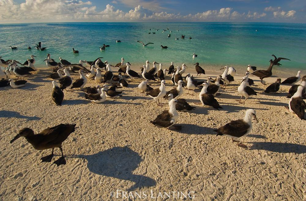 Laysan albatross doing flight tests, Midway Atoll, Hawaiian Leeward Islands, USA