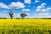 Trees in a field of flowering canola crop under blue sky and cumulus cloud at Fargunyah, New South Wales, Australia.