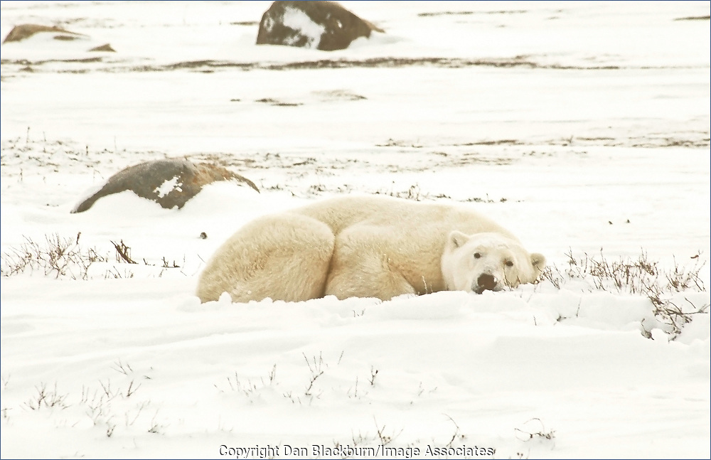 A polar bear takes a short nap on the tundra of the Canadian Arctic.