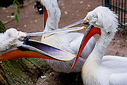 Pelicans at the Berlin Zoological Garden, Berlin, Germany