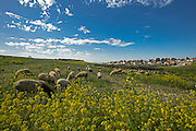 herd of sheep graze in a field of wildflowers Photographed in Israel