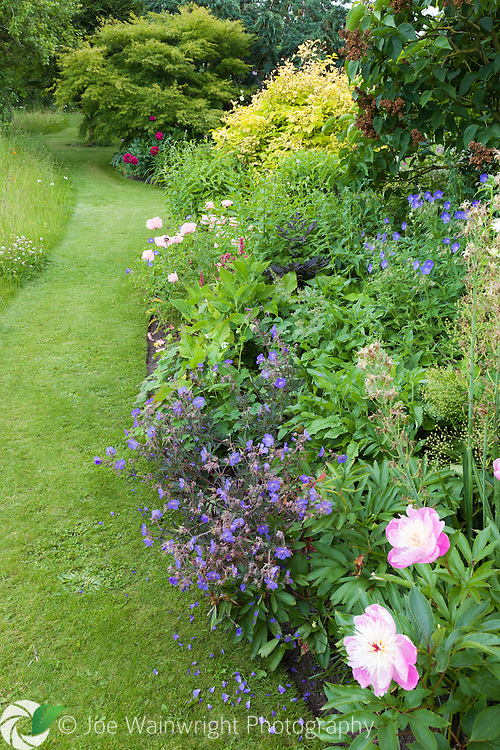 Peonies bloom in a border at Bluebell Cottage Gardens, Cheshire - photographed in June