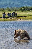 Visitors and guide observe brown bear (Ursus arctos) crossing Hallo Creek; Alaska