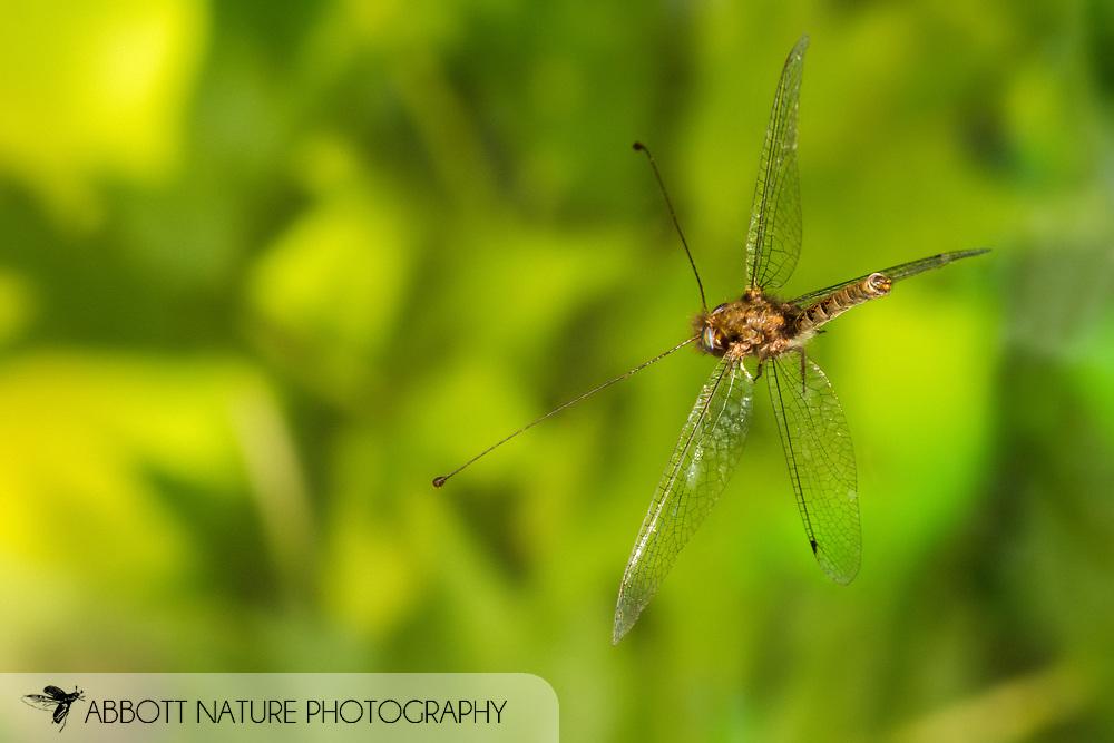 Owlfly (Ululodes floridanus) male flying<br /> United States: Alabama: Tuscaloosa Co.<br /> Tulip Tree Springs off Echola Rd.; Elrod<br /> 26-Jul-2016<br /> J.C. Abbott #2855
