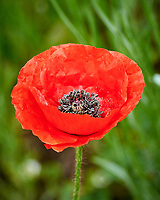 Red or Oriental Poppy flower. Image taken with a Nikon N1V3 camera and 70-300 mm VR lens.