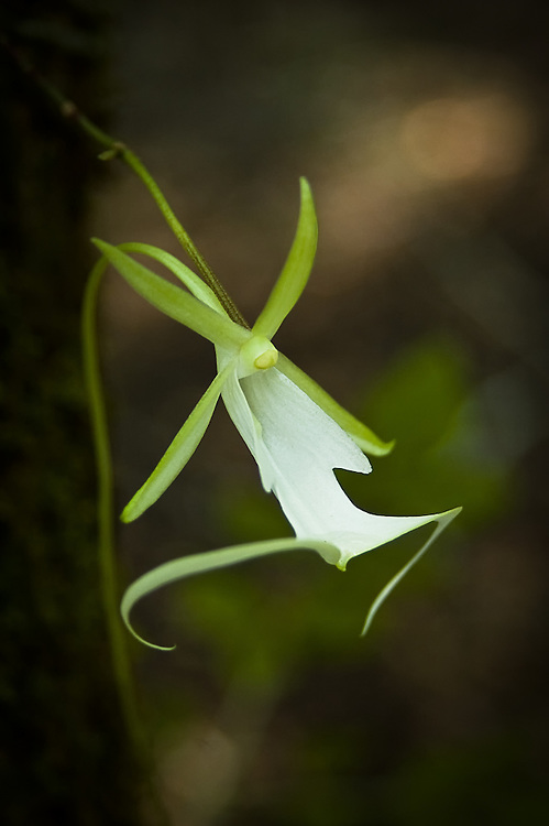 The world-famous ghost orchid photographed here in its natural environment.