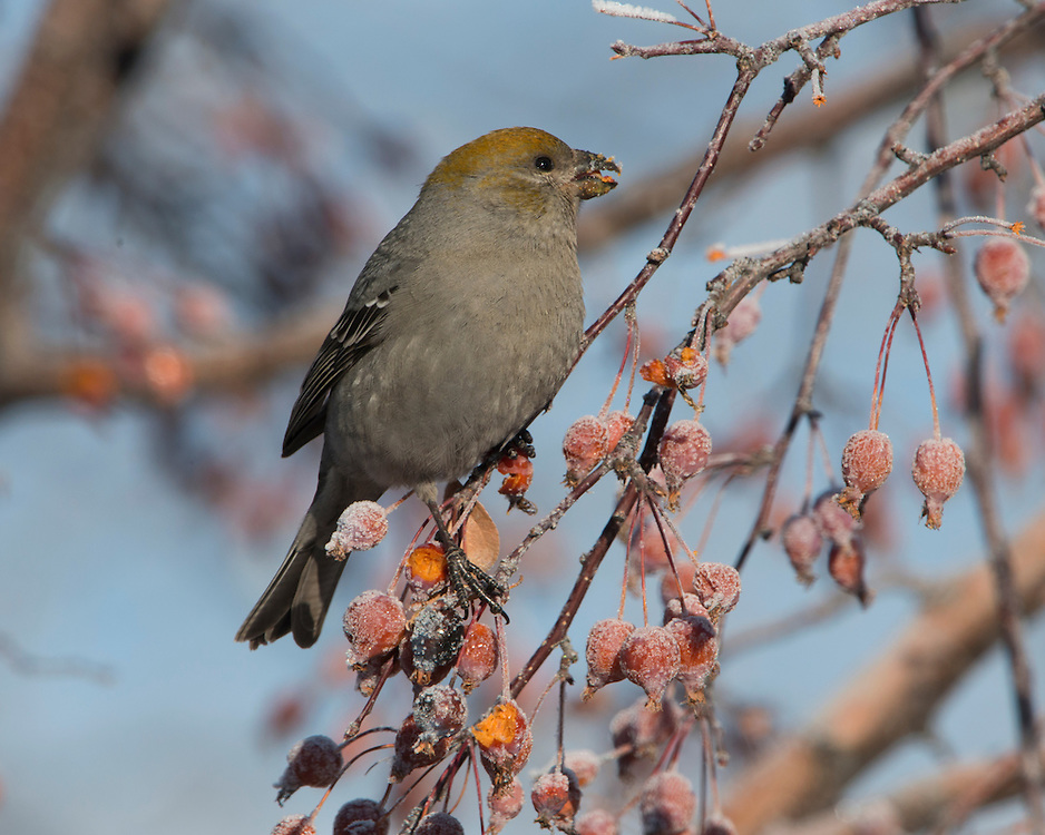 A female pine grosbeak (Pinicola enucleator) on a berry tree during winter, Missoula, Montana