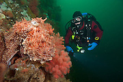 Scuba diver encounters a Giant Pacific Octopus, Enteroctopus dofleini, on Browning Passage in Vancouver Island, British Columbia, Canada.
