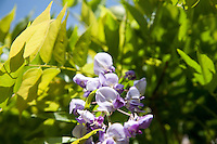 Wisteria flowers growing in a garden in Ireland
