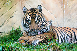© Licensed to London News Pictures. 21/12/2017. Kirby Misperton UK. A Tiger cub born in August sits with her mother Surya today as she took her first steps outside today at Flamingo Land zoo in Yorkshire. The female cub is so far un-named & is the cub of Bawa & Surya. The new arrival was the culmination of seven years of hard work by Flamingo Land animal carers in their attempts to protect the critically endangered species. Photo credit: Andrew McCaren/LNP