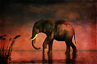 An elephant walks alone. It walks with gradual, grand purpose. It walks against a backdrop of stunning reds and other colors associated with the final moments of sunset. Perhaps, this elephant is walking because the late hour is drawing near. In hardly any time at all, the sky will pass into twilight. Will be the elephant get to where it is going before then? Or will it have to continue its long, weary journey under a blanket of stars. This stunning acryl on canvas piece is available as wall art, on t-shirts, or as a wide range of interior décor products. .<br />