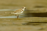 A Semipalmated Plover (Charadrius semipalmatus) foraging at low tide in the mudflats of the Orinoco River Delta, Venezuela.