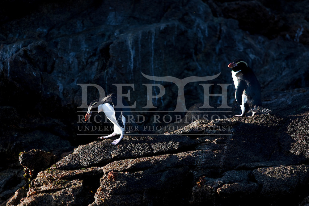 Snares Crested Penguin  (Eudyptes robustus) on North East Island at The Snares (Tine Heke) Sub Antarctic Island Group in the Southern Ocean.<br /> Wednesday 05 January 2011.<br /> Photograph Richard Robinson &copy; 2011.
