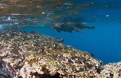 Galápagos sea lion (Zalophus wollebaeki) in Galapagos, Equador