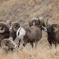 group of trophy bighorn rams
